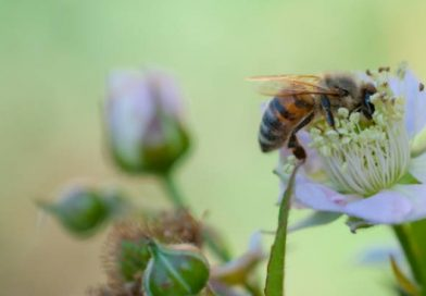 abeille-jardin-fleur