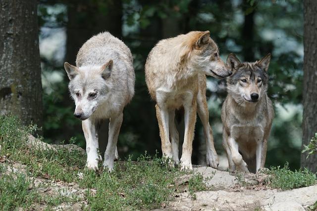 loups meute