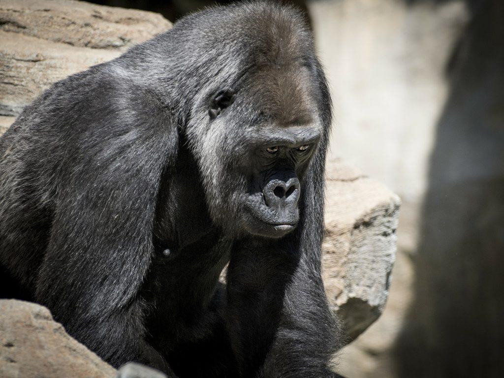 Un gorille dans un zoo